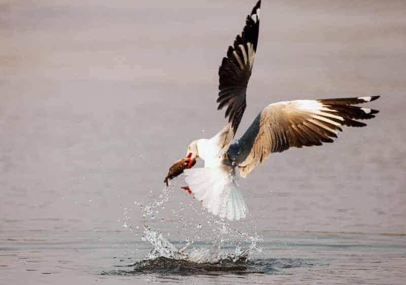 Artclip Freelance Photography A Grey Headed Gull Chroicocephalus Cirrocephalus
